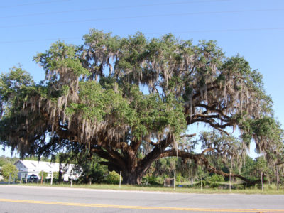 Bartram Oak On Florida Black Bear Scenic Byway