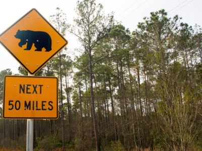 Caution signs for bear crossings are common along the Florida Black Bear Scenic Byway as it goes through the Ocala National Forest. This is sign, photographer on December 28, 2015, is north of Salt Springs. Photo by Tom Burton