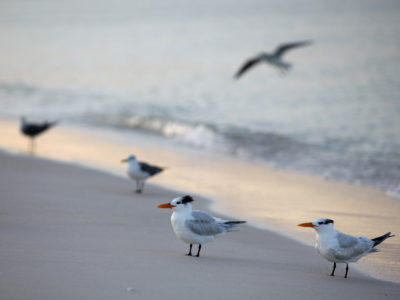 Terns greet the sun on the Gulf of Mexico shore on Anna Maria Island, where the Bradenton Beach Scenic Highway runs parallel to the water. (Bradenton Beach Scenic Highway on Anna Maria Island is a waterfront highway corridor that offers nature, scenery, and pedestrian and bike-friendly paths. At 2.8 miles long, it offers panoramic views of the Gulf of Mexico and Sarasota Bay along Highway 789. It also includes access to Leffis Key, an island preserve with trails and plenty of wildlife and bird viewing.) (Bradenton Beach Scenic Highway) Photo made on 11/30/15 Photo by Lara Cerri