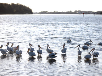 White pelicans, which frequently visit Florida in the winter, splash about Sarasota Bay off of Leffis Key. The key is an island preserve that is directly accessible from the Bradenton Beach Scenic Highway. (Bradenton Beach Scenic Highway on Anna Maria Island is a waterfront highway corridor that offers nature, scenery, and pedestrian and bike-friendly paths. At 2.8 miles long, it offers panoramic views of the Gulf of Mexico and Sarasota Bay along Highway 789. It also includes access to Leffis Key, an island preserve with trails and plenty of wildlife and bird viewing.) (Bradenton Beach Scenic Highway) Photo made on 11/30/15 Photo by Lara Cerri