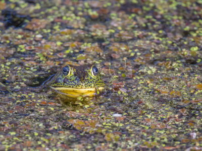 Bullfrog In Duckweed