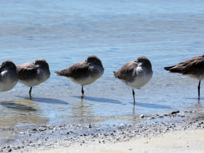 Tampa, Florida. 2/17/2016. Willets stand on shore on the Clearwater side of the causeway and scenic trail. Photos of the Courtney Campbell Scenic Highway and areas along it. Photo by Bill Serne