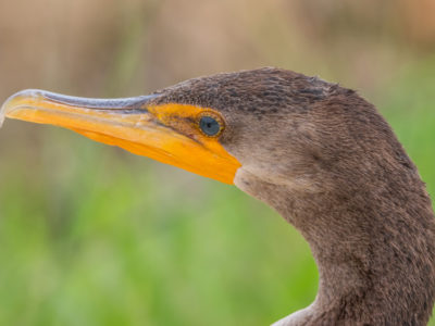 Cormorant Head Shot