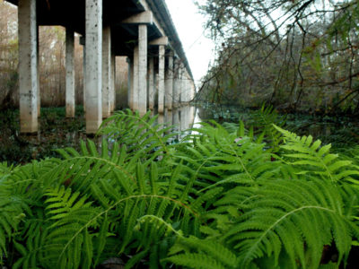A stand of ferns grows under the SR 19 bridge over the Ockalawaha River on Florida Black Bear Scenic Byway on December 28, 2015. . Photo by Tom Burton