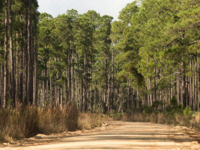 Pine trees line a forest road that is a spur of the Florida Black Bear Scenic Byway on December 28, 2015. Photo by Tom Burton