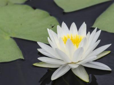 Fragrant Water Lily GMSB