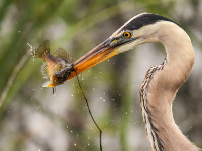 Great Blue Heron And Its Catch