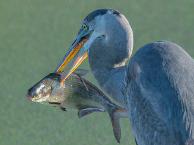 Great Blue Heron With Gizzard Shad