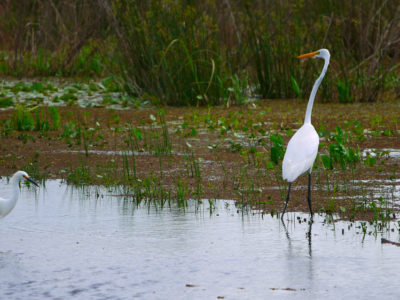 Great Egrets By The La Chua Trail