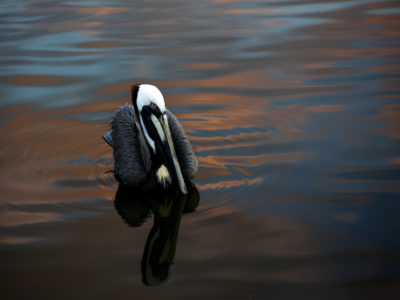 A Brown Pelican sits in the brightly colored waters of the Indian River Lagoon under the orange and blue skies at dusk.   Photos by: Willie J. Allen Jr.