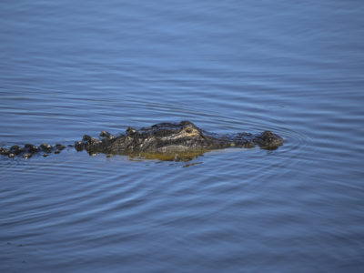 Lake Apopka Wildlife Drive Gator 02