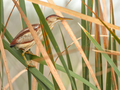 Least Bittern Amongst Cattails