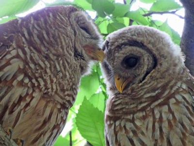 Mother And Owlet Snuggles