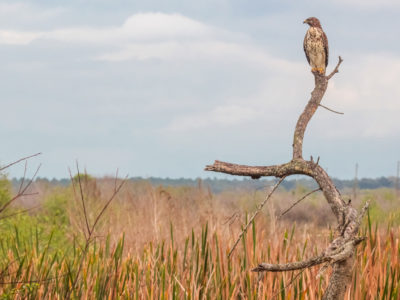 Red Shouldered Hawk's Perch