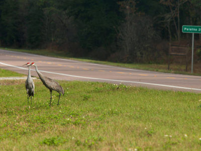 Sandhill cranes feed along the roadside of SR 19, north of Salt Springs | Photo by Tom Burton