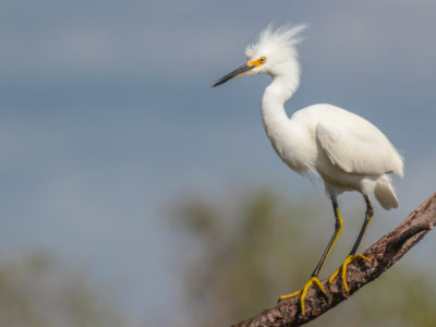 Snowy Egret Near Lake Apopka