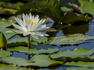 Water Lily GMSB