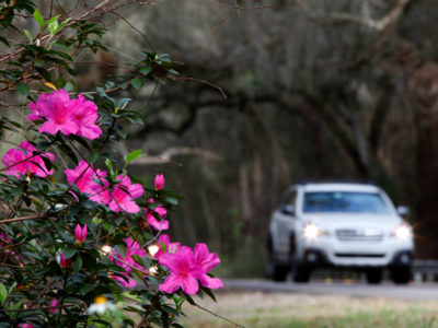 Azaleas bloom along the 17-mile William Bartram Scenic and Historic Highway in western St. Johns County. The Florida Scenic Highway is named after naturalist William Bartram who, in 1776, attempted to establish a plantation on the nearby banks of the St. Johns River. Daron Dean for VISIT FLORIDA