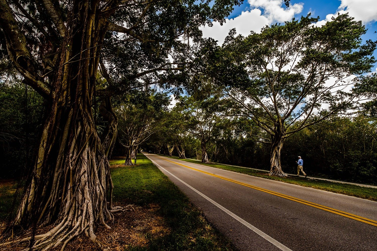 """A1A Bridge Road Banyan"" - Indian River Lagoon National Scenic Byway 