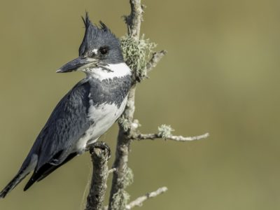 Belted Kingfisher Indian River Fellsmere