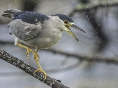 Blackcrowned Night Heron In The Rain