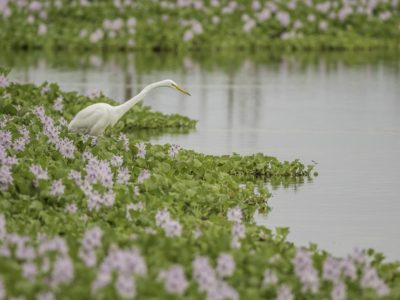 Great Egret In Water Hyacinth