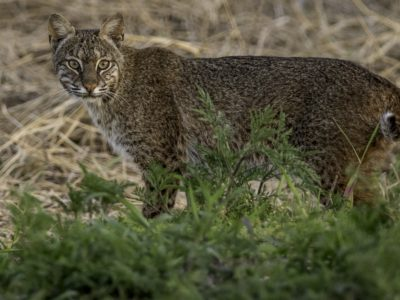 Green Mountain Bobcat