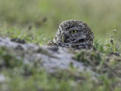 Hew Burrowing Owl Tamiami Trail