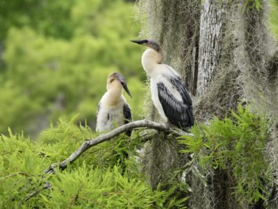 Juvenile Anhingas At Wakulla Springs